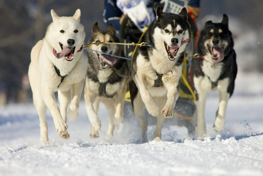 Alaskan Malamute beim Ziehen eines Hundeschlittens
