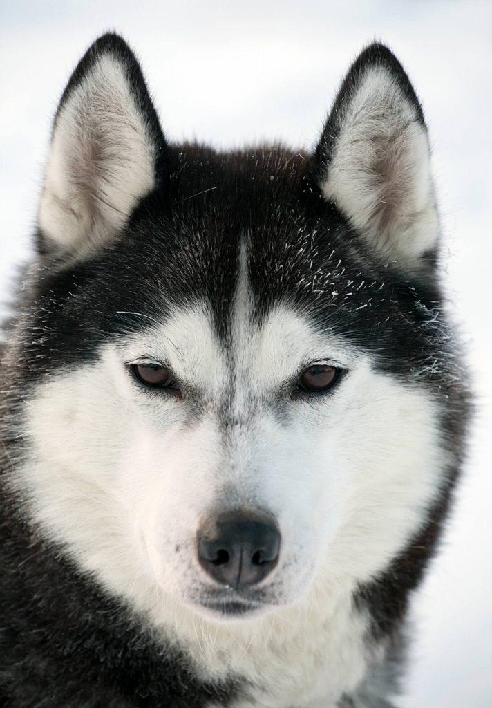 Alaskan Malamute Augenfarbe und Gesichtsmaske