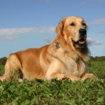 Hunderasse Golden Retriever