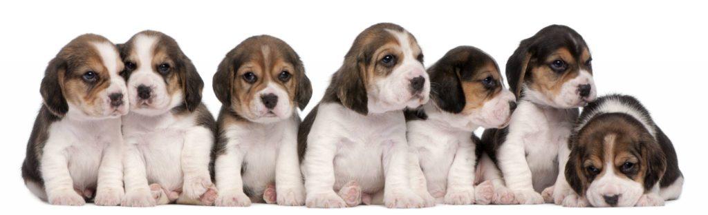 Hunderasse Beagle Welpen