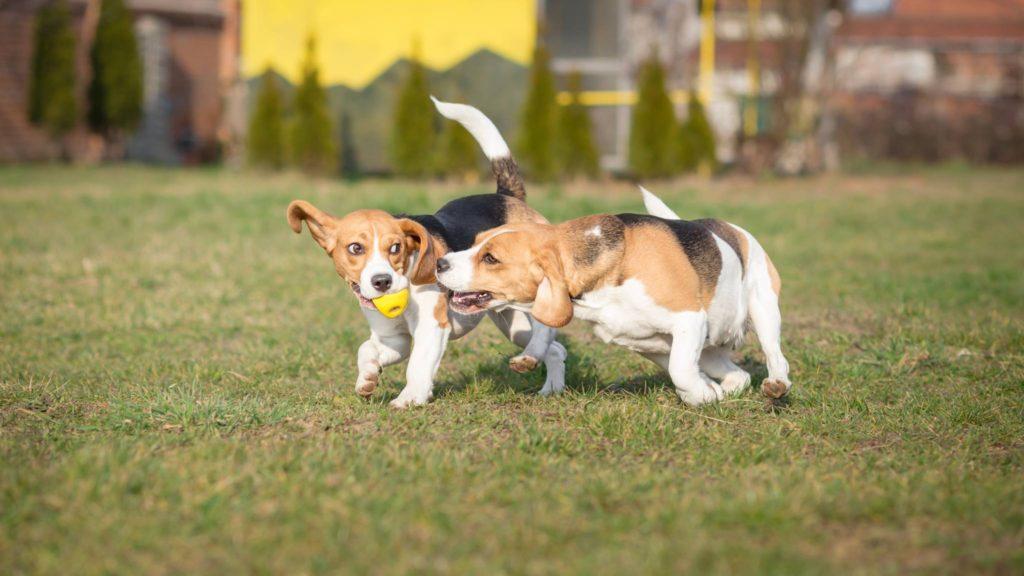 Beagle beim Spielen