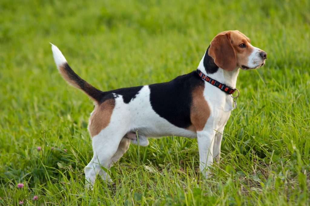 Hunderasse Beagle Körperbau
