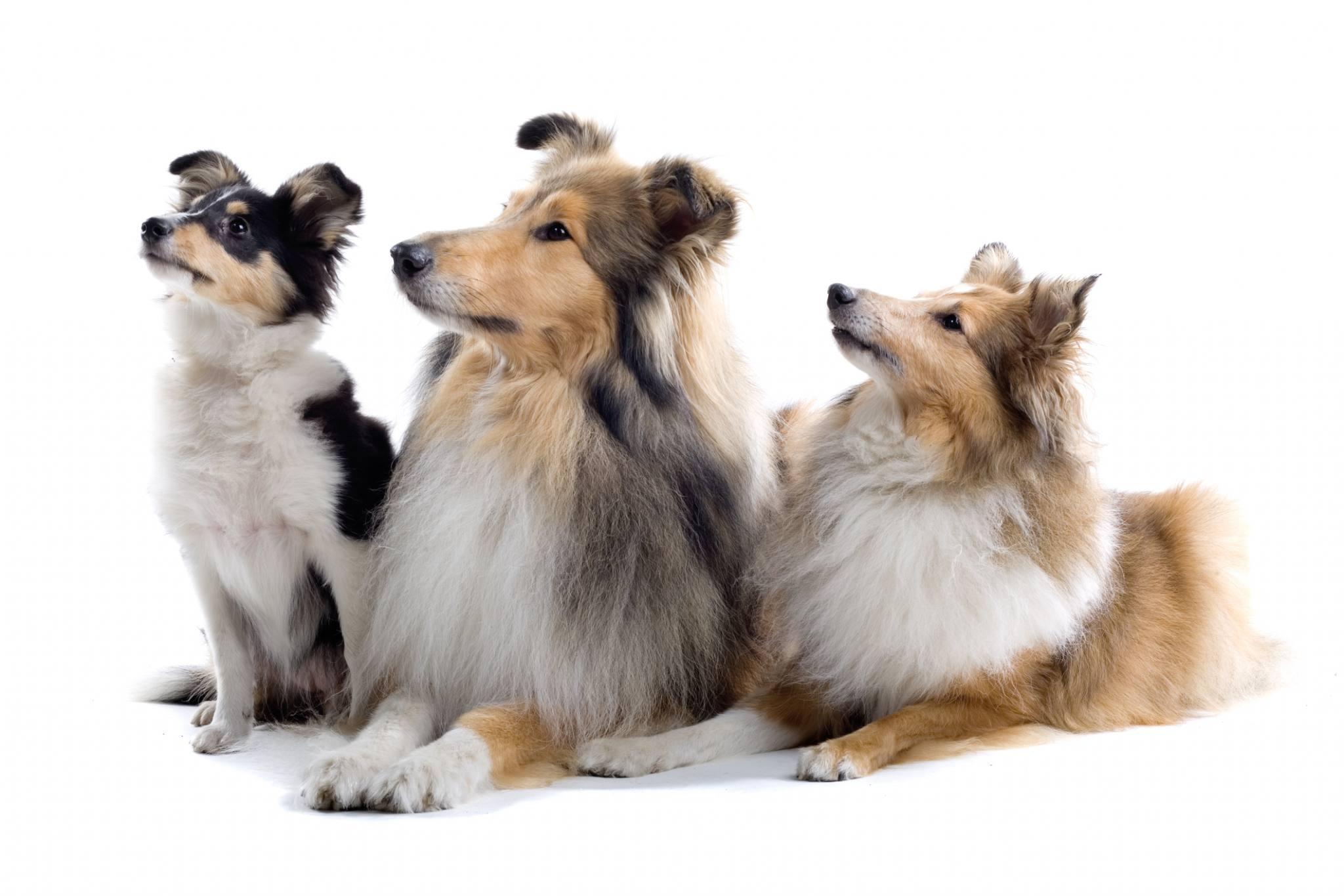 schottischer schäferhund züchter