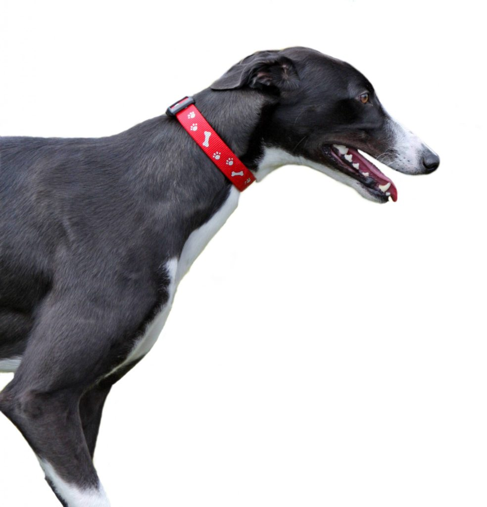 Körperbau Greyhound