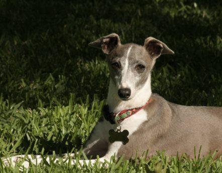 Hunderasse Greyhound