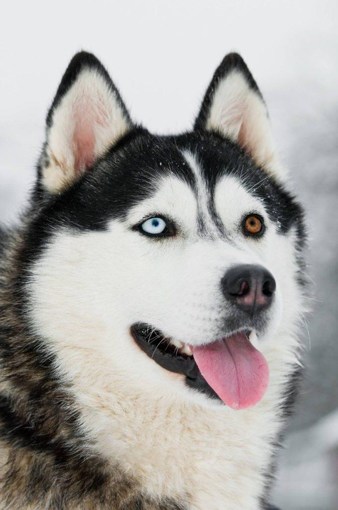 Oddeyed Siberian Husky - ein Auge blau, das andere braun