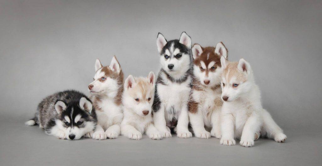 Siberian Husky Welpen kaufen